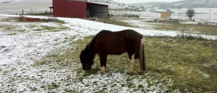 El caballo de Villatuelda olisqueando la nieve